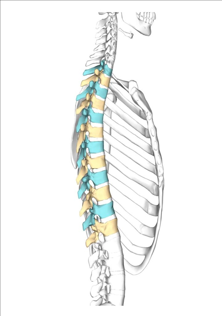 chiropractor oakville picture of a spine the middle or thoracic vertebra are coloured blue and yellow