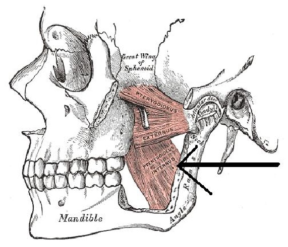 oakville physiotherapy TMJ pain treatment picture of the jaw muscles