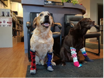 2 dogs wearing compression stockings, one is a australian cattle dog other is chocolate lab, supposed to be funny